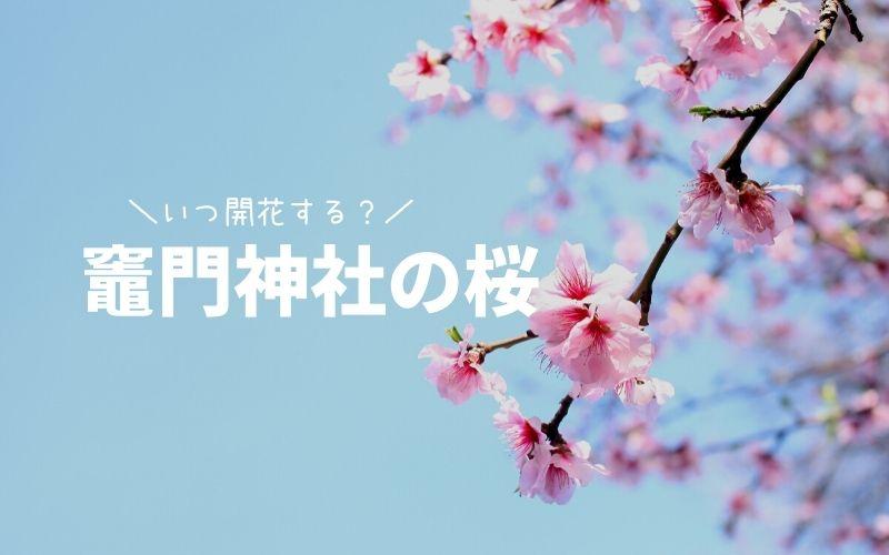 竈門神社の桜の開花状況-TOP