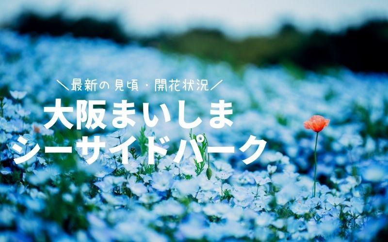 大阪まいしまシーサイドパーク-ネモフィラ祭り見頃